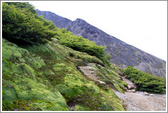 Trees, short due to adaptation to the wind.  Sendero del Filo (Edge Path), Glaciar Martial.
