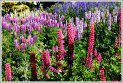 Lupins growing outside the Museo del Fin del Mundo.