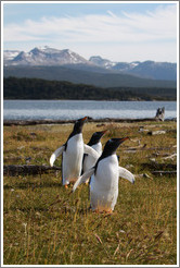 Three Gentoo Penguins.