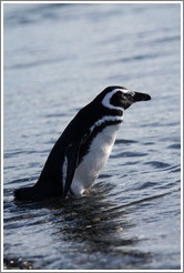 Magellanic Penguin entering the water.
