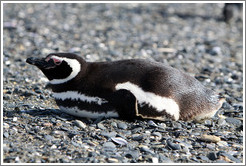 Magellanic Penguin lying down.