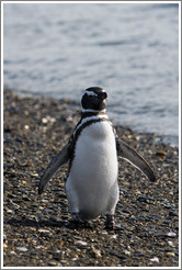 Magellanic Penguin.