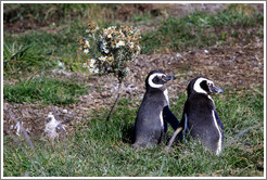 Two Magellanic Penguins by a flower bush.
