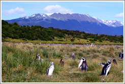 Magellanic Penguins in the tall grasses, with a blue mountain behind.
