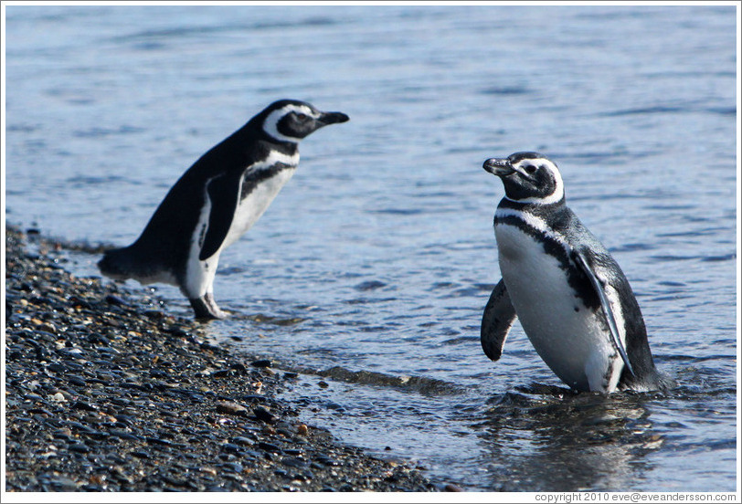 Two Magellanic Penguins at the water's edge.