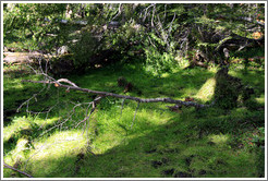 Fallen tree.  The dirt and roots have come up.  Costera Sendero (Coastal Path).