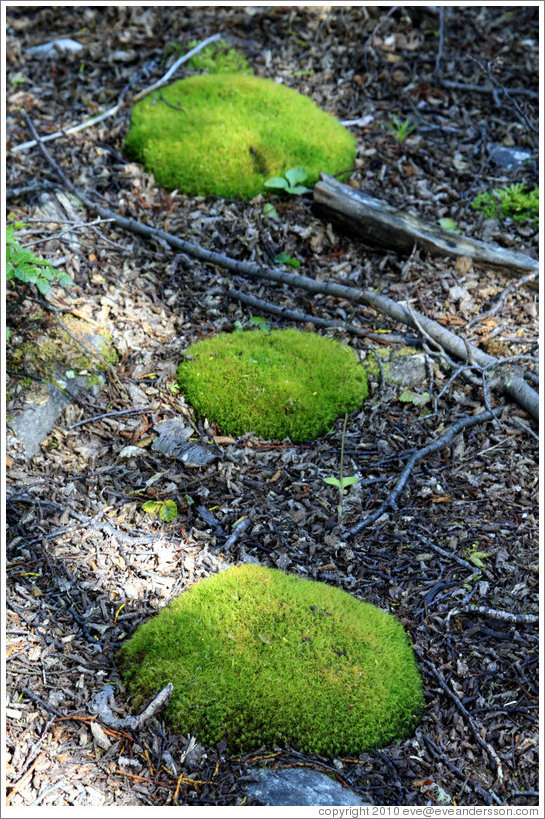 Three moss patches.  Costera Sendero (Coastal Path).