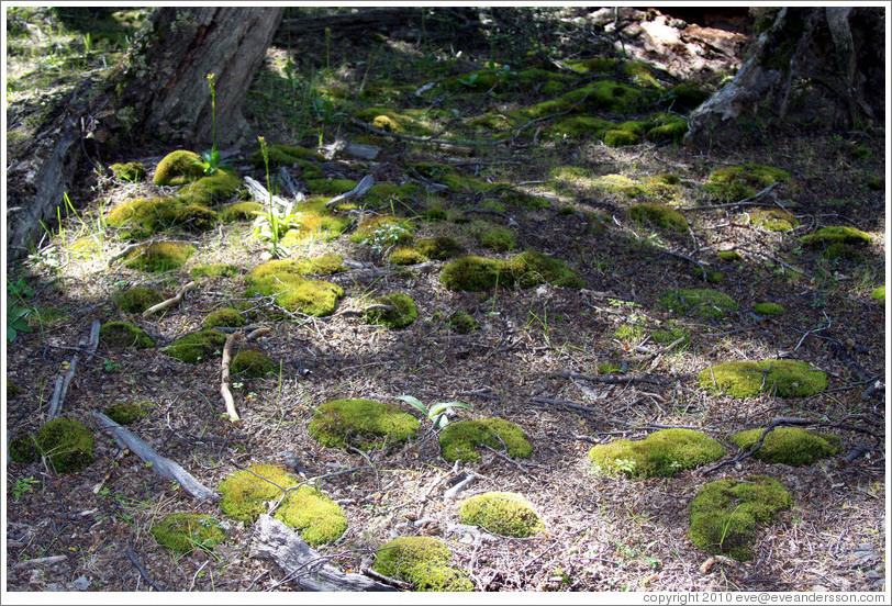 Moss patches.  Costera Sendero (Coastal Path).
