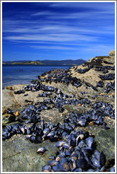 Purple sea shells and the Bah�a Ensenada.
