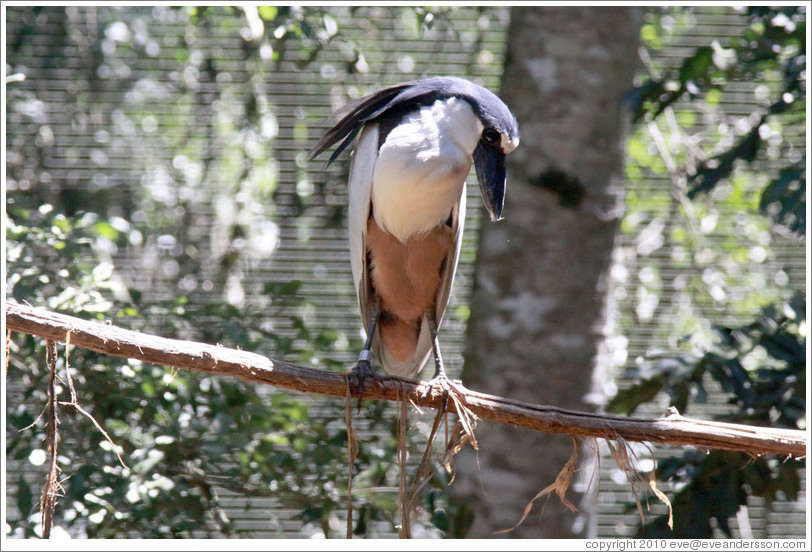 Black Crowned Night Heron, Foz Tropicana Bird Park.