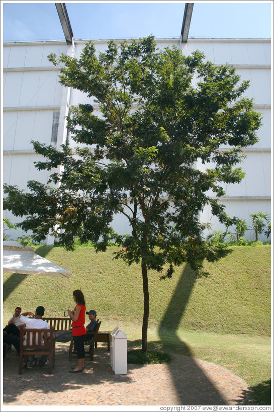 The Pau Brasil tree, after which the country of Brazil was named.  Located at headquarters of Natura, Brazil's largest cosmetics company.