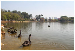 Black swans on a lake.  Parque do Ibirapuera.