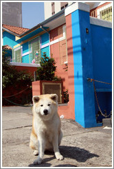 Good dog in front of  blue and red house.  Rua Artur de Azevedo.  Villa Magdalena neighborhood.