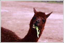 Llama eating a flower.  Emiliana Vineyards.