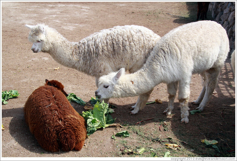 Brown llama rolling in the lettuce that the white llamas are trying to eat.  Emiliana Vineyards.