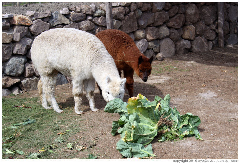 Llamas eating lettuce.  Emiliana Vineyards.
