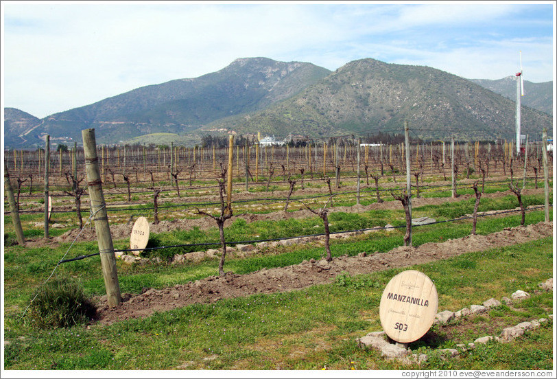 "Row of vines labeled ""Manzanilla"" (I believe the label refers to the compost used as fertilizer).  Emiliana Vineyards."