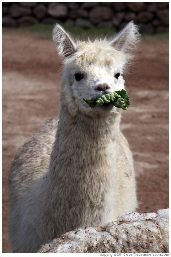 Llama eating lettuce.  Emiliana Vineyards.