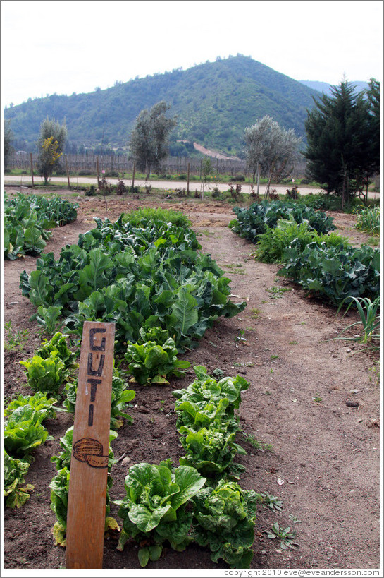 Row tended by Guti.  Vegetable garden, Emiliana Vineyards.