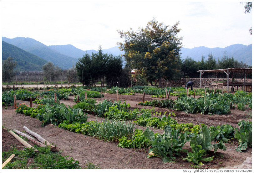 Vegetable garden, Emiliana Vineyards.