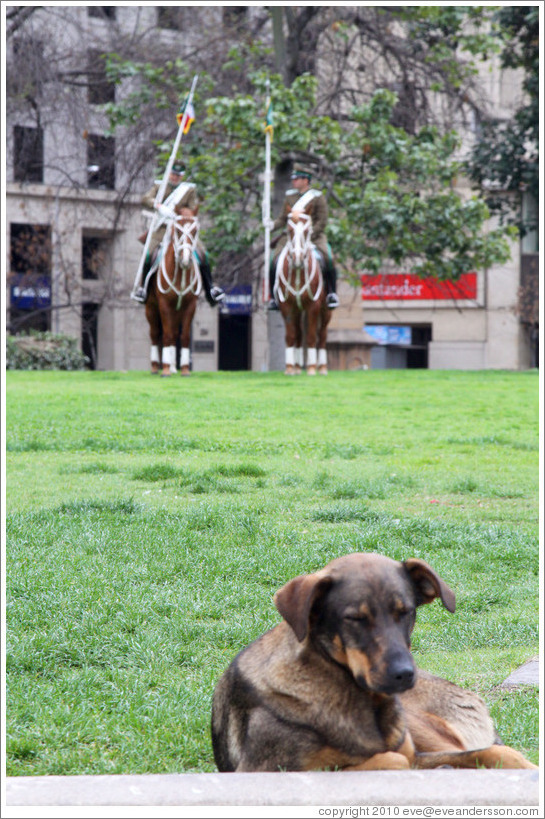 Homeless dog, with two La Moneda guards riding horses behind.  Constitution Plaza.