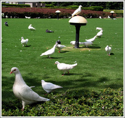 Doves in People's Park.