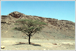 Tree in the Sinai Desert.