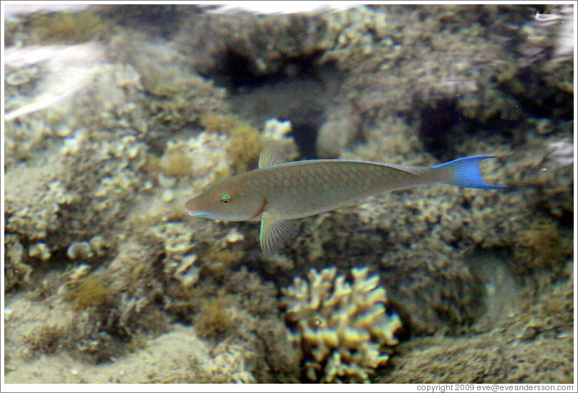 Fish with blue tail and green eyelids in the corals just for What fish has eyelids