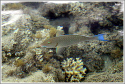 Fish with blue tail and green eyelids in the corals just offshore.