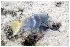 Fish with a yellow tail and blue fins in the corals just offshore.
