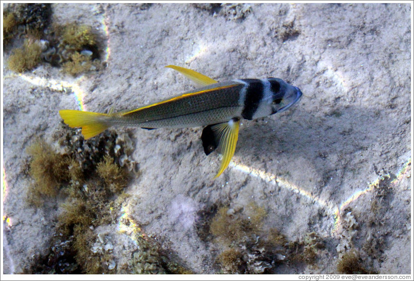 Fish with a yellow tail in the corals just offshore.