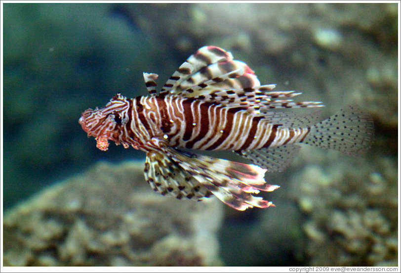 Lion fish in the corals just offshore.