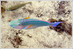 Two fish, one of which is green, blue, pink, and orange, in the corals just offshore.