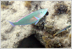 Two fish (one is green, blue, pink, and orange; the other is silver, green, pink, and yellow) in the corals just offshore.