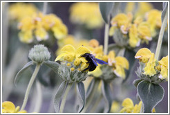 Black bee on yellow flower.  La Source Parfum�e.
