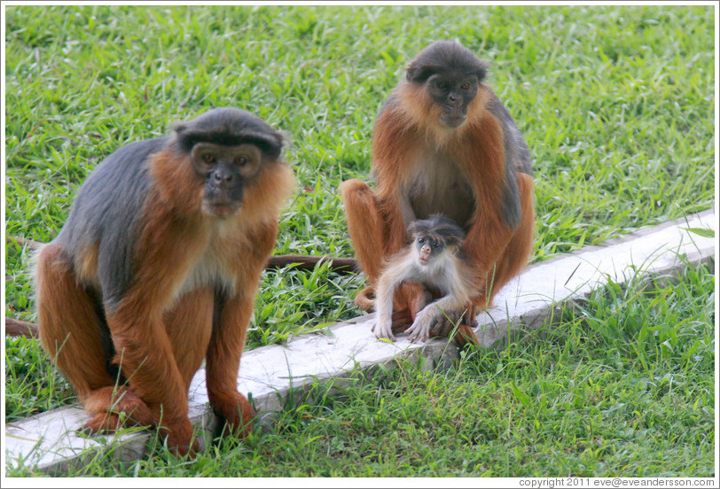 Wild red colobus monkeys. Gardens of the Kairaba Beach Hotel.