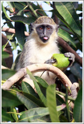 Wild vervet monkey eating fruit. Gardens of the Kairaba Beach Hotel.