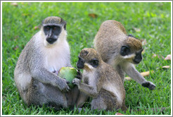 Wild vervet monkeys eating fruit. Gardens of the Kairaba Beach Hotel.