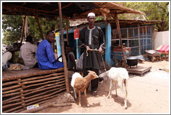 Man with goats.