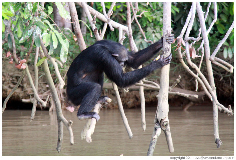 Chimpanzee. Chimpanzee Rehabilitation Project, Baboon Islands.