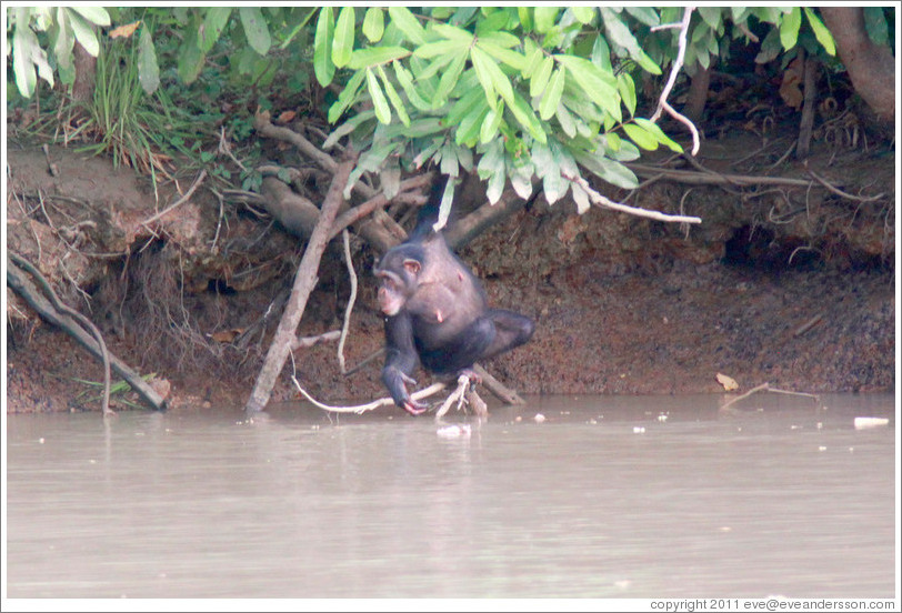 Chimpanzee reaching into the river for a drink of water. Chimpanzee Rehabilitation Project, Baboon Islands.
