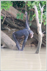 Chimpanzee cooling off in the water. Chimpanzee Rehabilitation Project, Baboon Islands.