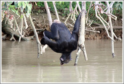 Chimpanzee drinking water. Chimpanzee Rehabilitation Project, Baboon Islands.