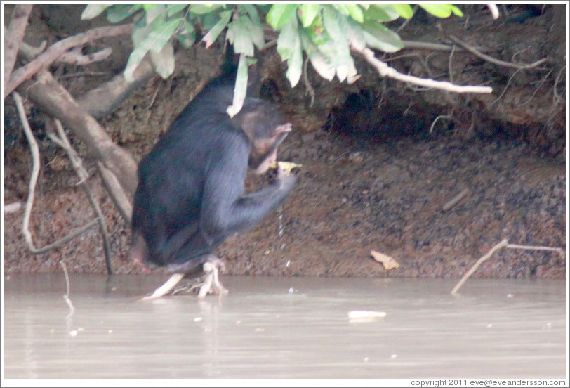 Chimpanzee drinking water using a leaf as a cup. Chimpanzee Rehabilitation Project, Baboon Islands.