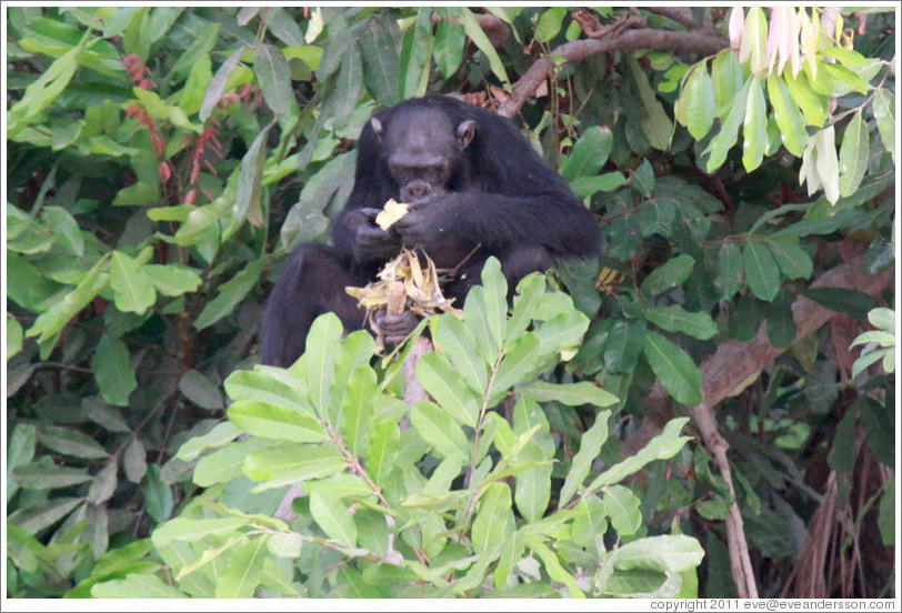 Chimpanzee eating. Chimpanzee Rehabilitation Project, Baboon Islands.