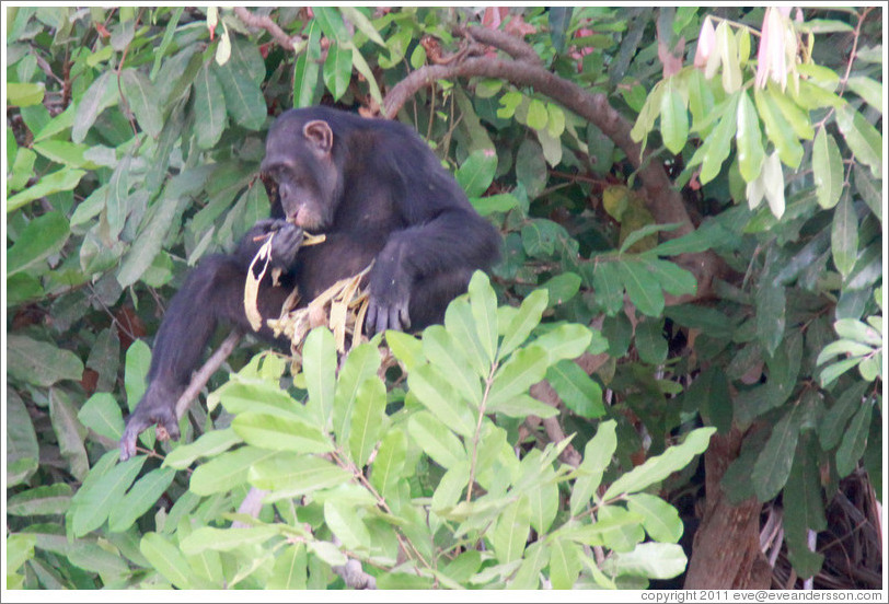 Chimpanzee eating leaves. Chimpanzee Rehabilitation Project, Baboon Islands.