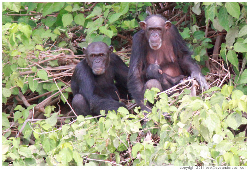Mother, father and baby chimpanzees. Chimpanzee Rehabilitation Project, Baboon Islands.