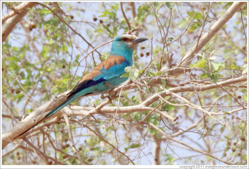 Abyssinian Roller.