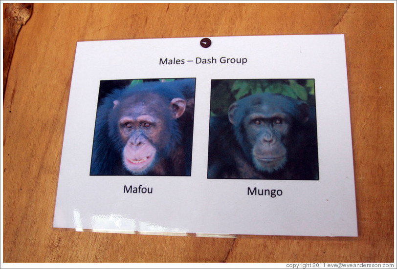 Photos of males in the Dash Group from Chimpanzee Rehabilitation Project.
