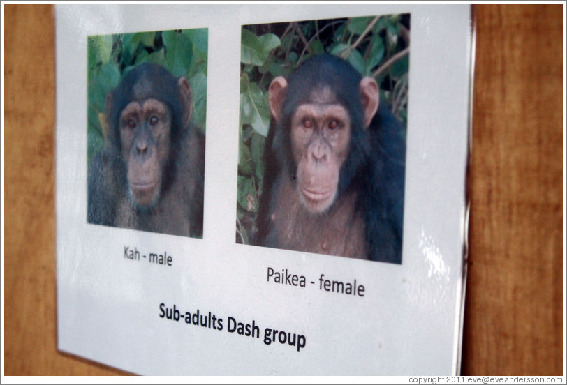 Photos of sub-adults in the Dash Group from Chimpanzee Rehabilitation Project.